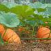 The Pumpkins of Salorge