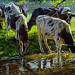 Black and white Holstein cattle drinking from a stream