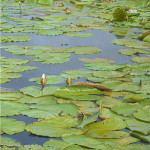 """Water lilies at the """"Ronde Hoep"""""""