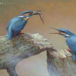 Feeding Kingfishers