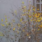 Fall - house sparrows